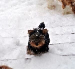 Yorkshire Terrier zum Barbarakreuz, Rüde frei