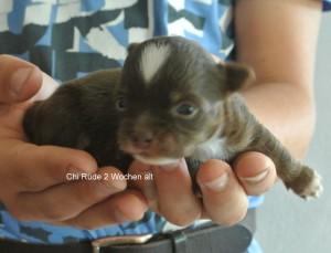 Chihuahua Sierra Madre Rüde, 2 Wochen alt