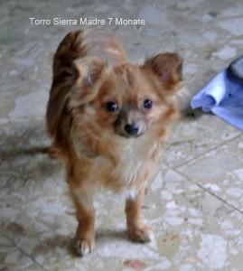 Torro Sierra Madre,langhaar Chihuahua frei