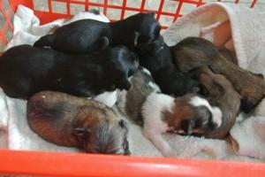 2012-12-14 Havaneser 2 Wochen alt