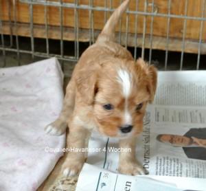 Cavalier-Havaneser Hündin , 4 Wochen alt, verkauft