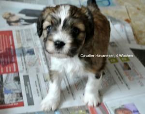 Cavalier-Havaneser, 4 Wochen
