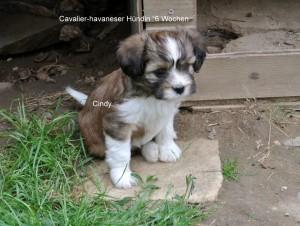 Cindy, Cavalier-Havaneser Hündin, 6 Wochen