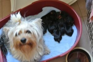Yorkshire Terrier zum Barbarakreuz, 3 Tage alt, alle satt und zufrieden- Reservierung geg. Anzahlung möglich: 0253885402