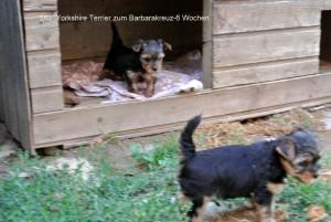 Yorkshire Terrier zum Barbarakreuz, 6 Wochen Rüde und Hündinnen frei 0253885402