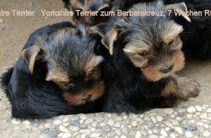 2015.08.22 Yorkshire Terrier zum Barbarakreuz, 7 Wochen, Rüde und Hündin frei