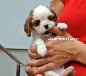 CKCHSP 5 Wochen, Rüde Frederic ist der Kleinste. Gesund, zutraulich, und genau so übermütig wie seine Schwestern, frei