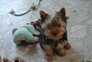 Yorkie Baby, Rüde,16 Wochen