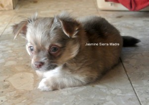 Chihuahua Sierra Madre Hündin Jasmine Sierra Madre,8 Wochen