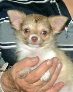 Chihuahua Sierra Madre, Hündin, 10 Wochen alt