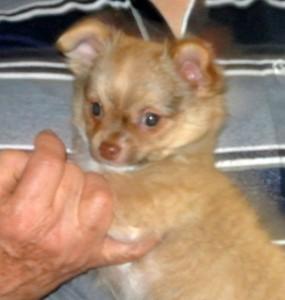 Chihuahua Sierra Madre Hündin, 10 Wochen