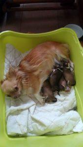 tüchtige Chi Mama hat es geschafft! Gesunde, schöne, vitale Babys im Nest. abzugeben 025638 85 402