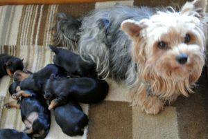 Yorkshire Welpen sind 3 Wochen alt.