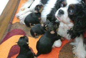 Yorkshire Terrier, 3 Wochen, mit Amme