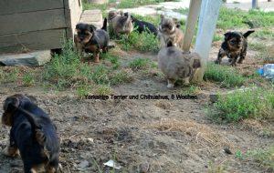 Yorkshire- und Chihuahua Welpen ,1. Ausflug in den Garten