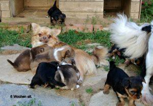 Eine ganz liebe Chihuahua Mama, hat ganz liebe Kinder.