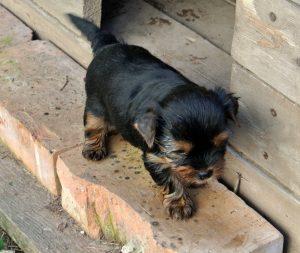 Yorkshire Terrier zum Barbarakreuz 6 Wochen