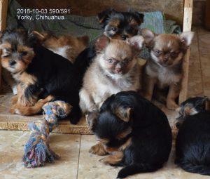 Yorkshire Terrier zum Barbarakreuz und Chihuahua Sierra Madre, 9. Woche, sind geimpft, haben Chip und EU Pass, abzugeben