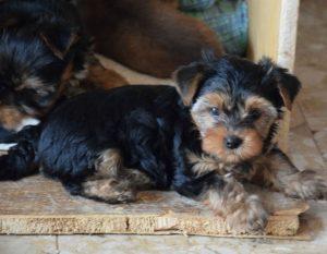 Yorkshire Terrier zum Barberekreuz, 9. Woche,-abzugeben