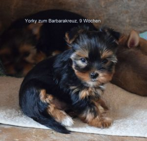 Yorkshire Terrier zum Barbarakreuz 9. Woche - bleibt sehr klein