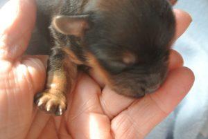 Havaneser Mädchen, geboren am 5.10.2016 7 Tage alt